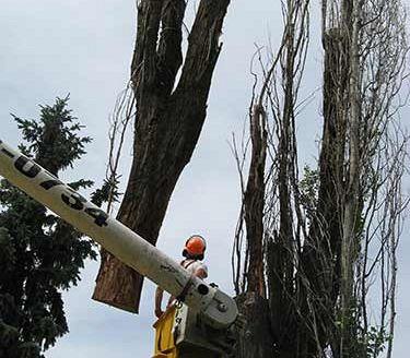 Professional Arborist at Work